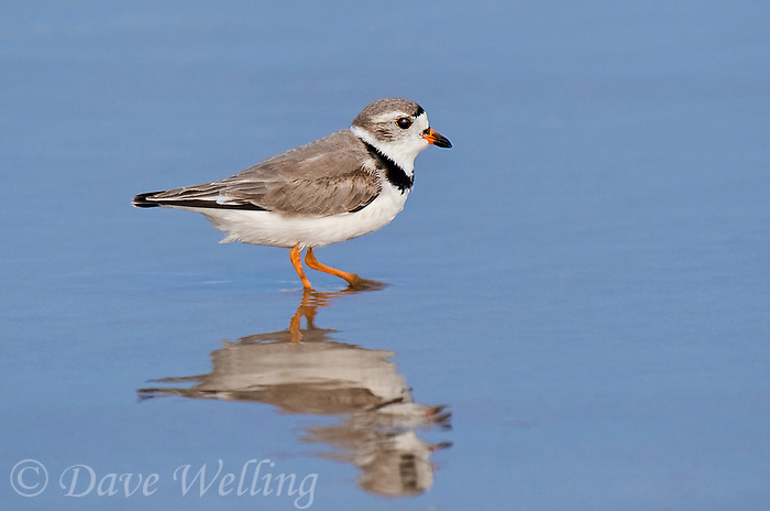 571880010 a wild adult piping plover charadrius melodus an endangered species in full breeding plumage stands in shoreline surf at boca chica beach along the texas gulf coast