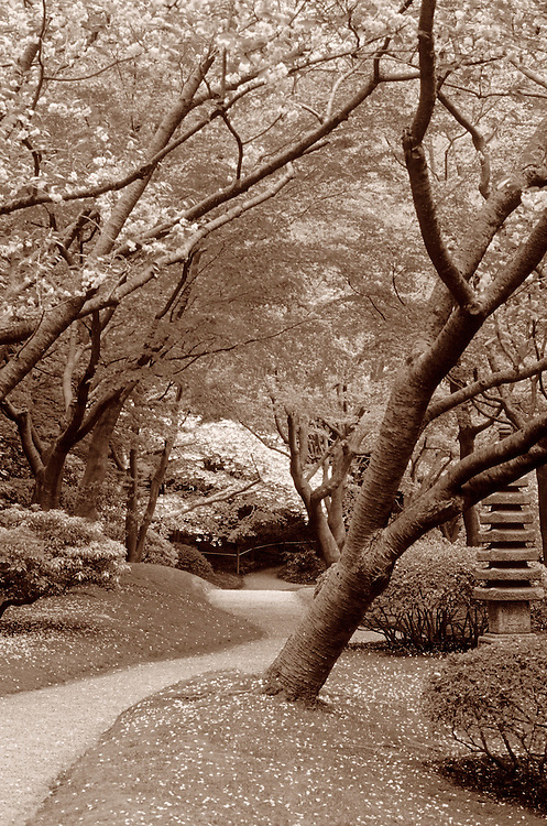 Path winding through garden of rhododendrons, Japanese cherry trees and Japanese Maples, Nitobe Memorial Gardens, UBC, Vancouver, BC.