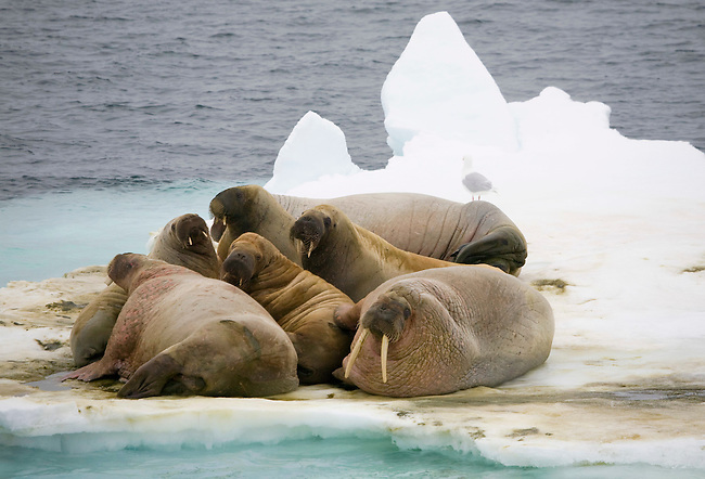 A group of male walrus of varying ages, haul out on an ice floe in the polar pack west of Spitsbergen