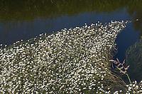 Flutender Wasser-Hahnenfuß, Flutender Hahnenfuß, Wasserhahnenfuß, Wasserhahnenfuss, Ranunculus fluitans