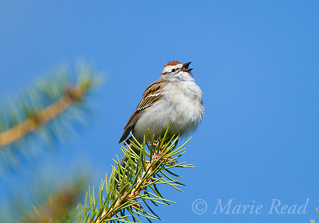 Chipping Sparrow (Spizella passerina) male singing in spring, perched on conifer branch, Interlaken, New York, USA