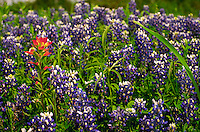 Bluebonnets are common in the Texas springtime. Also, the bluebonnet is the official state flower of Texas. Texas.