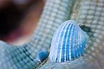 Molluscs, Thyca crystallina, on a blue starfish, Linckia laevigata, Anilao, Batangas, Philippines, Pacific Ocean