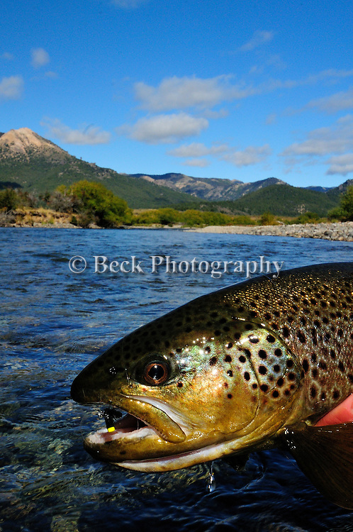 BROWN TROUT ON A SUMMER BEETLE