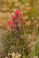 163510001 desert paintbrush castilleja angustifolia flowers along the road from Hwy 395 to eureka dunes california