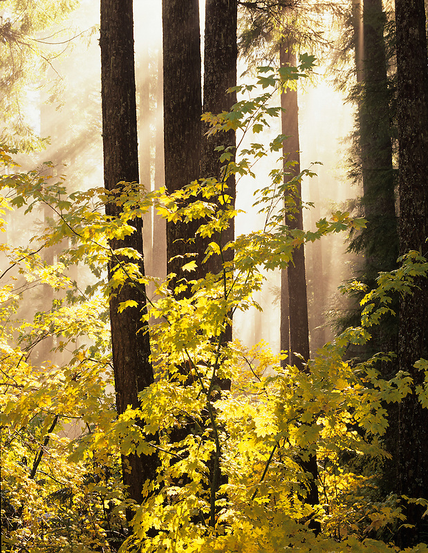 Fall color and fog in Willamette National Forest. Aufderheide National Scenic Byway, Oregon.