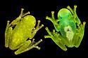 Glass Frog (Centrolenidae, probably Hyalinobatrachium sp.) photographed on glass, showing transparent underside. Found in cloud forest, Manu Biosphere Reserve, Peru. November. Digital composite.