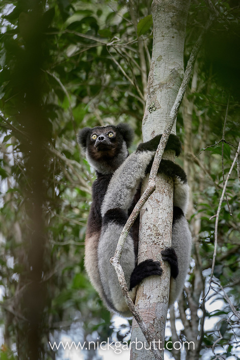 Adult Indri (Indri indri) in the rainforest canopy. Andasibe-Mantadia National Park, eastern Madagascar.