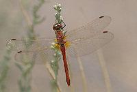 362700031 a wild male band-winged meadowhawk sympetrum semicintum perches on a flowering plant in mono county california