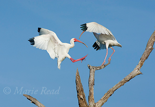 White Ibis (Eudocimus albus), one landing on perch as another takes flight, Viera, Florida, USA