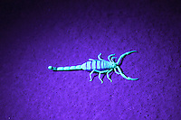 Scorpion in ultra violet light, Orange River, Namibia