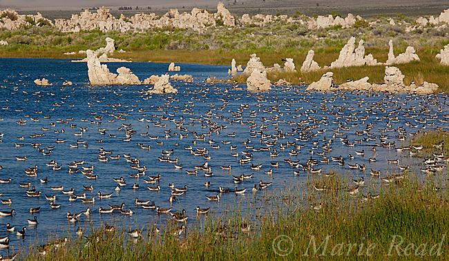 Wilson's Phalaropes (Phalaropus tricolor) large flock swimming/foraging near the shoreline at Mono Lake California, USA