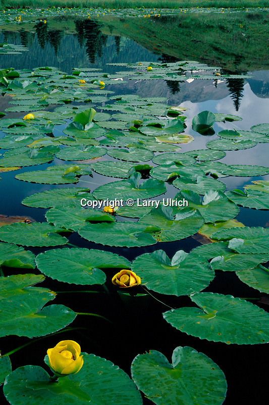 Yellow pond lily in pond on Molas Divide<br /> San Juan National Forest<br /> San Juan Mountains<br /> Rocky Mountains,  Colorado