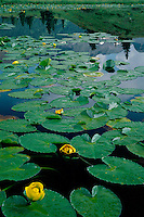 Yellow pond lily in pond on Molas Divide<br />
