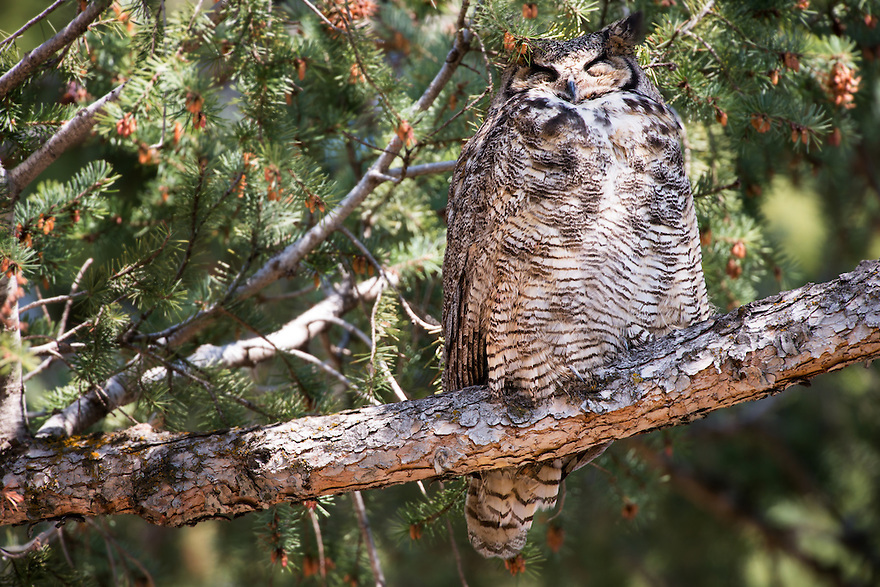 A Great Horned Owl roost in a pine tree in Bozeman, Montana.