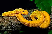 489184004 a bright yellow color phase of a captive eyelash viper bothreichis schlegalii a South American pit viper coiled around a large tree limb watching for prey and sensing the environment with its tongue