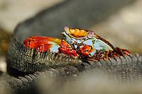 Marine Iguana (Amblyrhynchus cristatus) & Sally Lightfoot crab (Grapsus grapsus), Fernandina island, Punta espinosa, Galapagos, Ecuador.