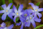 Tulips and bluebonets 150429