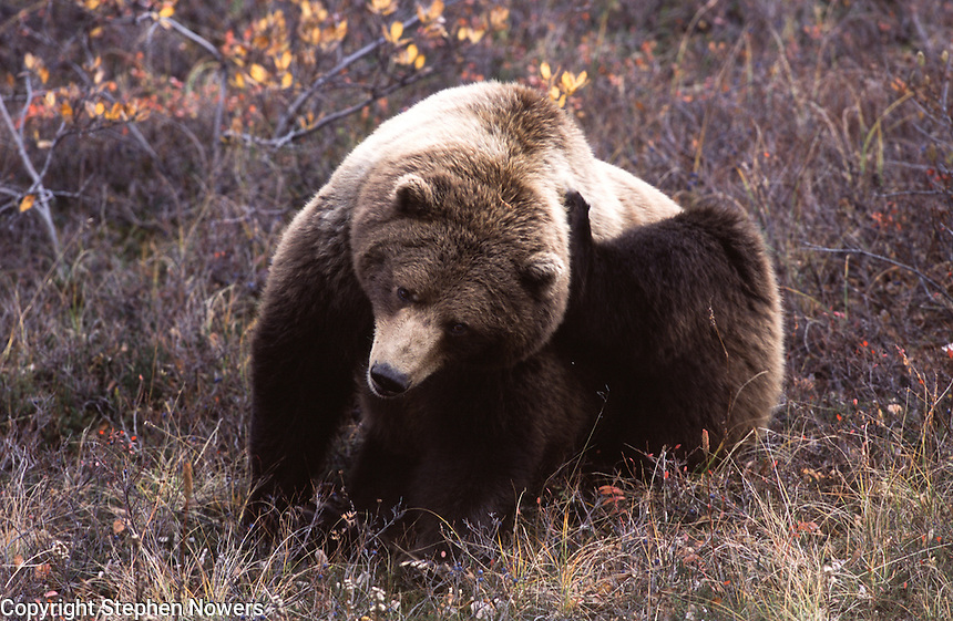 A brown bear in Denali National Park scratches an itch.