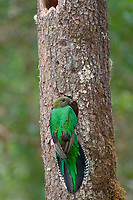 resplendent quetzal, Pharomachrus mocinno, adult female with an insect at nest, Costa Rica, Central America