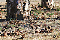 Pine cones fallen and scattered on ground under the trees on Troodos mountain, Cyprus.