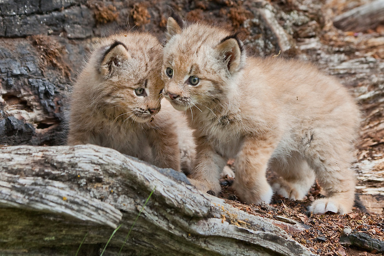 Baby Canada Lynx Kittens on an old log - CA