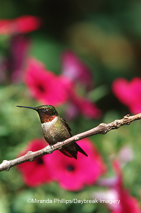 01162-070.03 (MW) Ruby-throated Hummingbird (Archilochus colubris) male perched near flower garden  Shelby Co.  IL