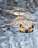 Beaver swimming in pond in Grand Teton National Park
