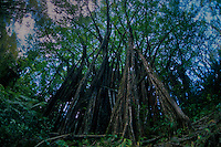 Banyan (Ficus benghalensis), Big Island, Hawaii, US