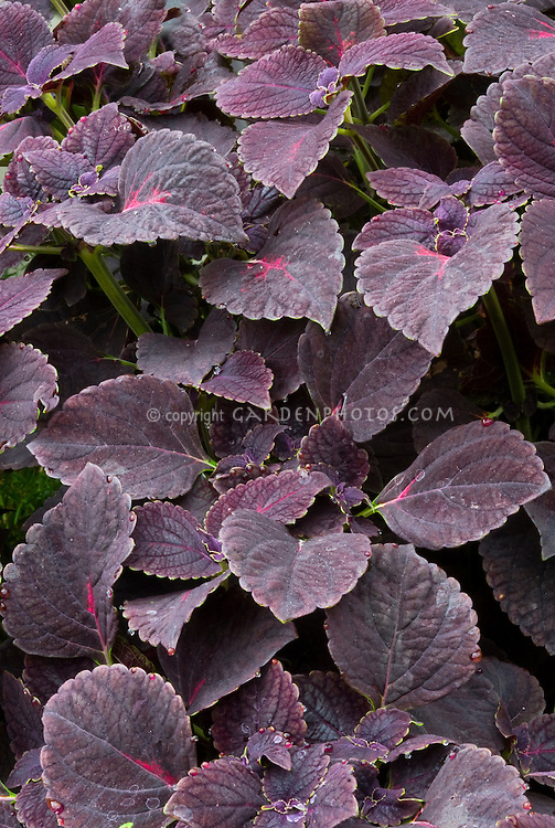 Solenostemon (Coleus) 'Black Prince' with dark purple foliage leaves. RHS Award of Garden Merit AGM