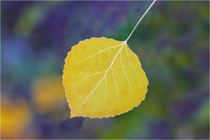 This image from Colorado is a macro shot of a golden aspen leaf.
