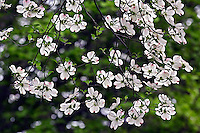 Flowering Dogwood tree blossoms viewed from below (Cornus florida) Louisville, Kentucky