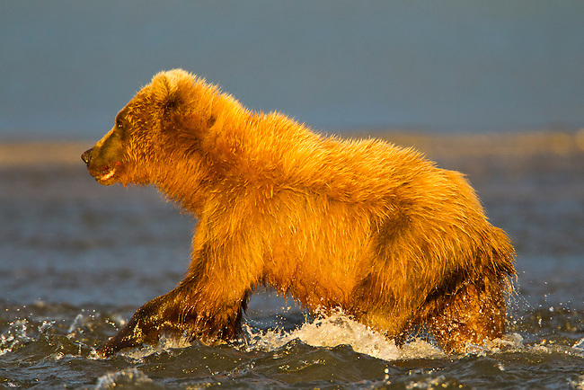 A coastal brown bear is seen here fishing in a creek, near the ocean, in Lake Clark National Park, Alaska.  Photo by Gus Curtis.