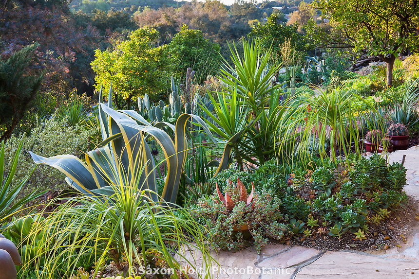 Mixed border of succulents, Agave americana 'Marginata', Beaucarnea recurvata, Ponytail Palm with Aloe aloifolia, Spanish Dagger and Aeoniums in Debra Lee Baldwin Southern California garden