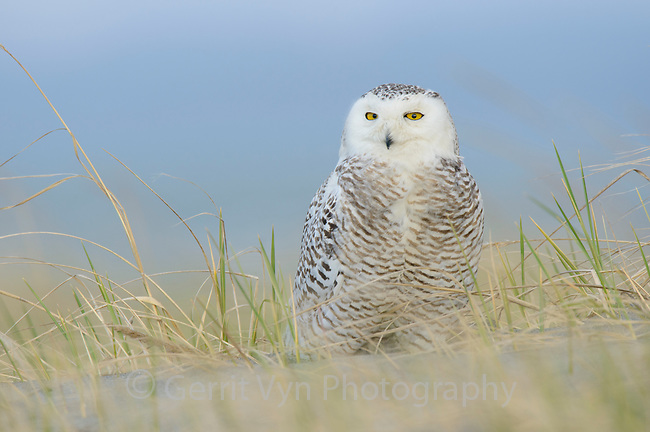 Snowy Owl (Bubo scandiacus) perched on the beach. Ocean County, Washington. March.