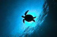 The Green sea turtle (Chelonia mydas) or green turtle is a large sea turtle of the family Cheloniidae