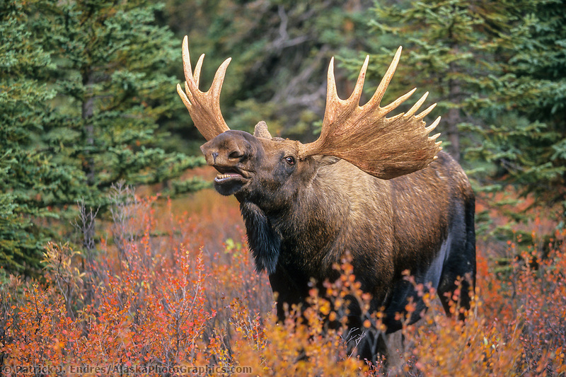 Bull moose scents for cow during the autumn mating season, Denali National Park, Alaska