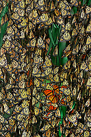 321000008 a wild group of monarch butterflies danus plexippus mass roost in a eucalyptus tree in their winter migration home in santa barbara county california