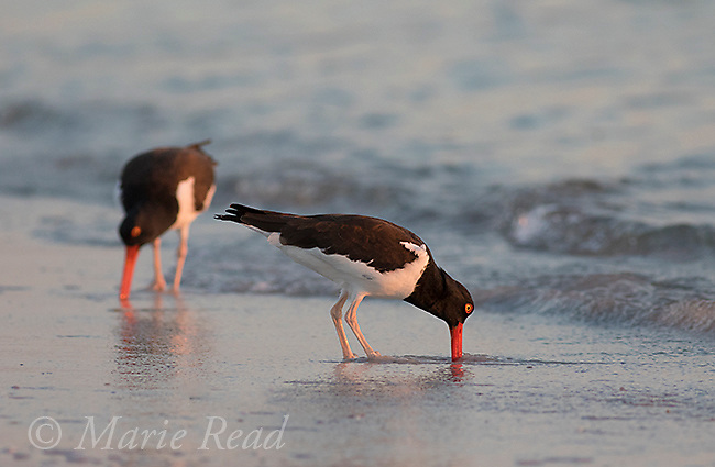 American Oystercatchers (Haematopus palliatus), pair foraging along the shoreline, Fort De Soto Park, Florida, USA