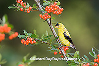 01640-15714 American Goldfinch (Carduelis tristis) male on Scarlet Firethorn (Pyracantha coccinea) berries, Marion Co.  IL