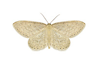 70.010 (1701)<br /> Dotted Border Wave - Idaea sylvestraria