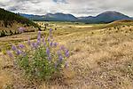 Lupine wildflowers near Pagosa Springs, Colorado.