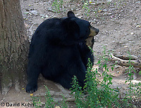 1021-1003  American Black Bear Scratching Itself, Ursus americanus  © David Kuhn/Dwight Kuhn Photography