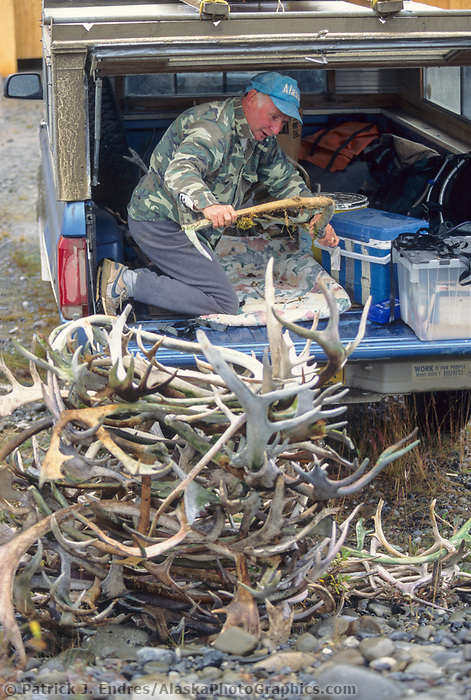 Pile of caribou antlers collected for sale for use in handcrafts such as knife handles and artwork. Brooks Range, Alaska