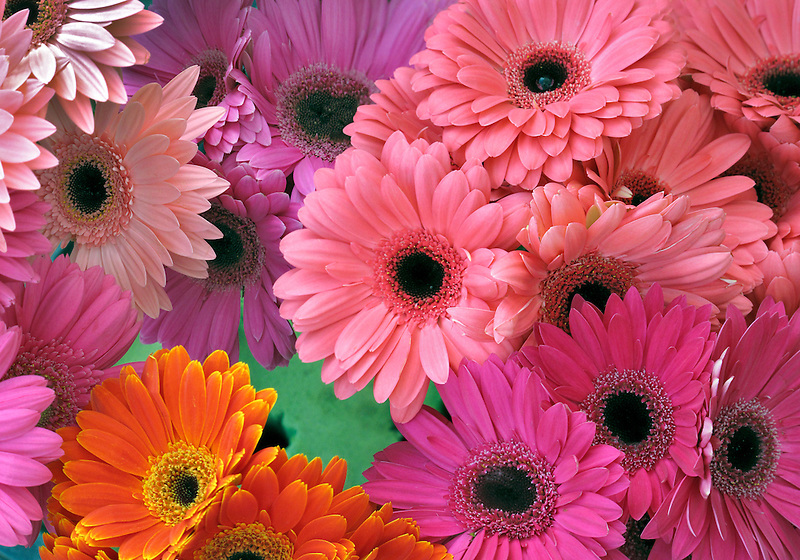 Gerbera flowers. California