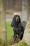 Black and Tan Coonhound<br />
