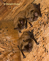 MA20-652z  Little Brown Bats, Myotis lucifugus