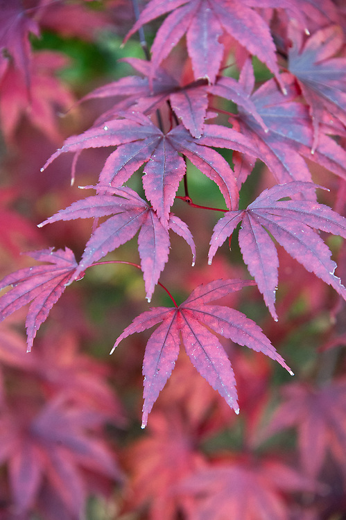 Acer palmatum 'Moonfire', late October. Autumn foliage of red Japanese maple.