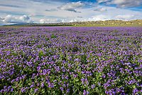 Carrizo Plain National Monument, CA: A large expanse of purple flowering phacelia (Phacelia ciliata) with Tremblor Range in the distance