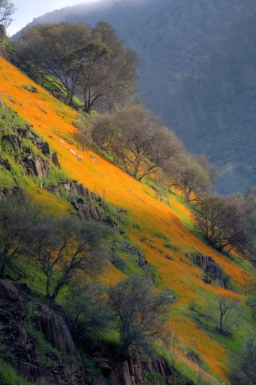 Wildflower Bloom in Merced River Canyon near Yosemite NP,California